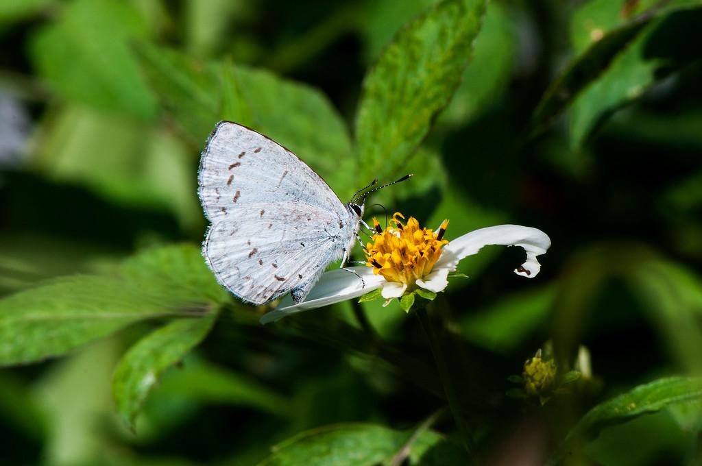 Margined Hedge Blue (Celatoxia marginata)