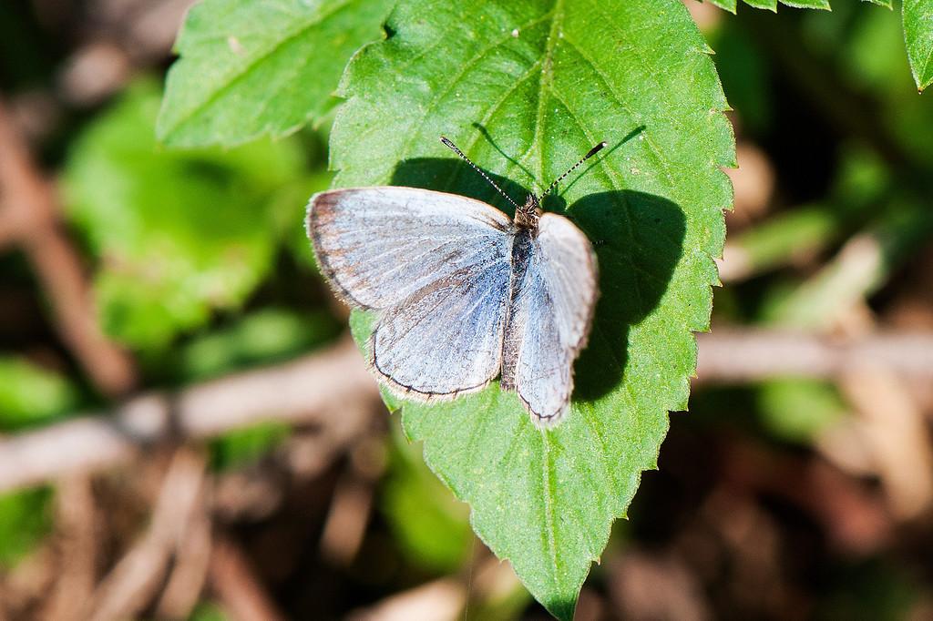 Plain Hedge Blue (Celastrina lavendularis himilcon)