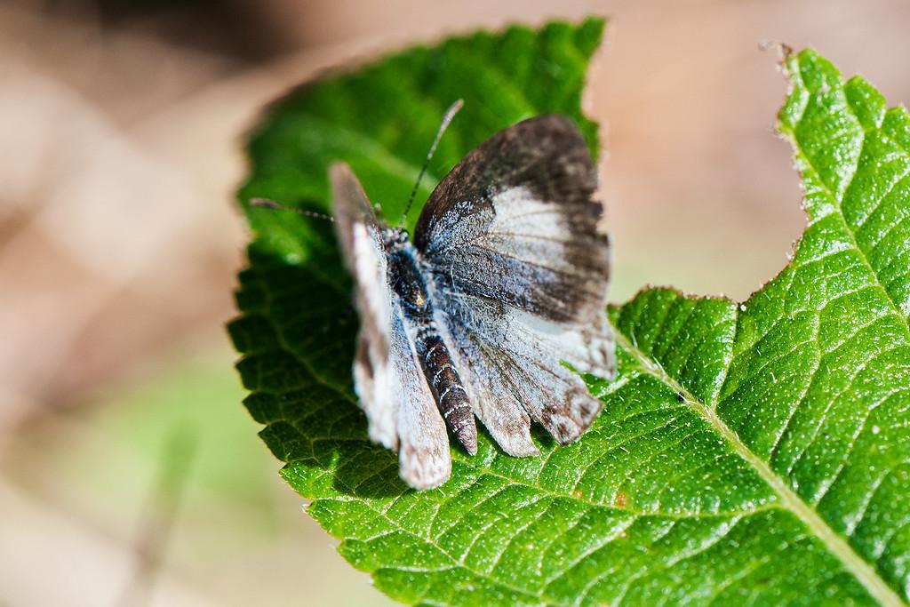 Common Hedge Blue (Acytolepsis puspa myla)