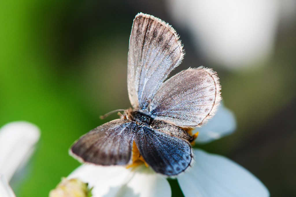 Pale Grass Blue (Zizeeria maha okinawana)