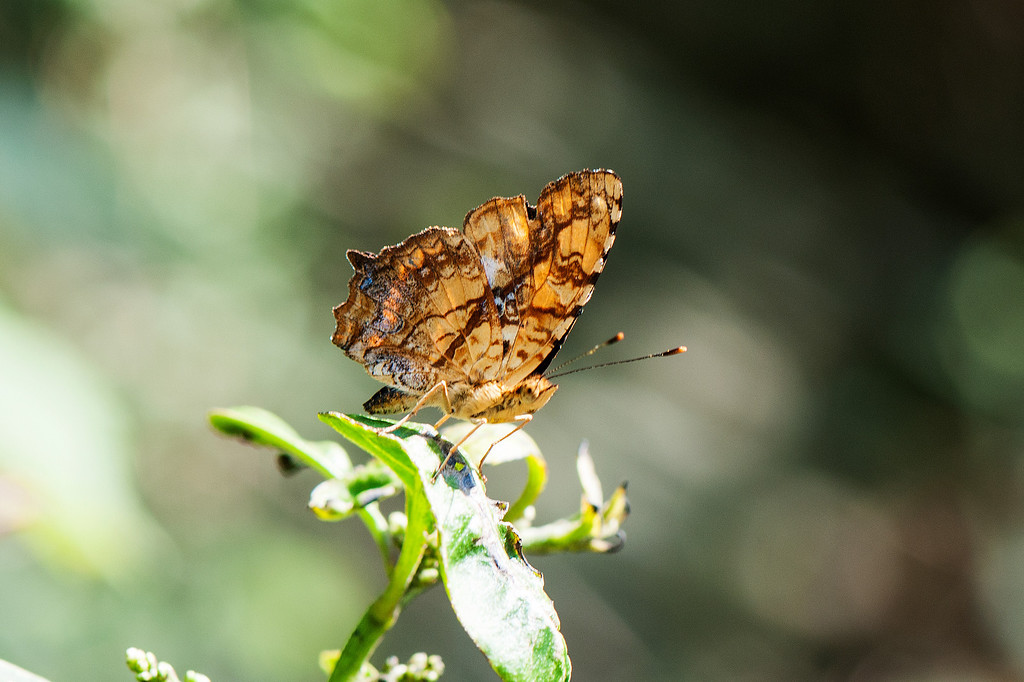 Common Jester (Symbrenthia lilaea formosanus)
