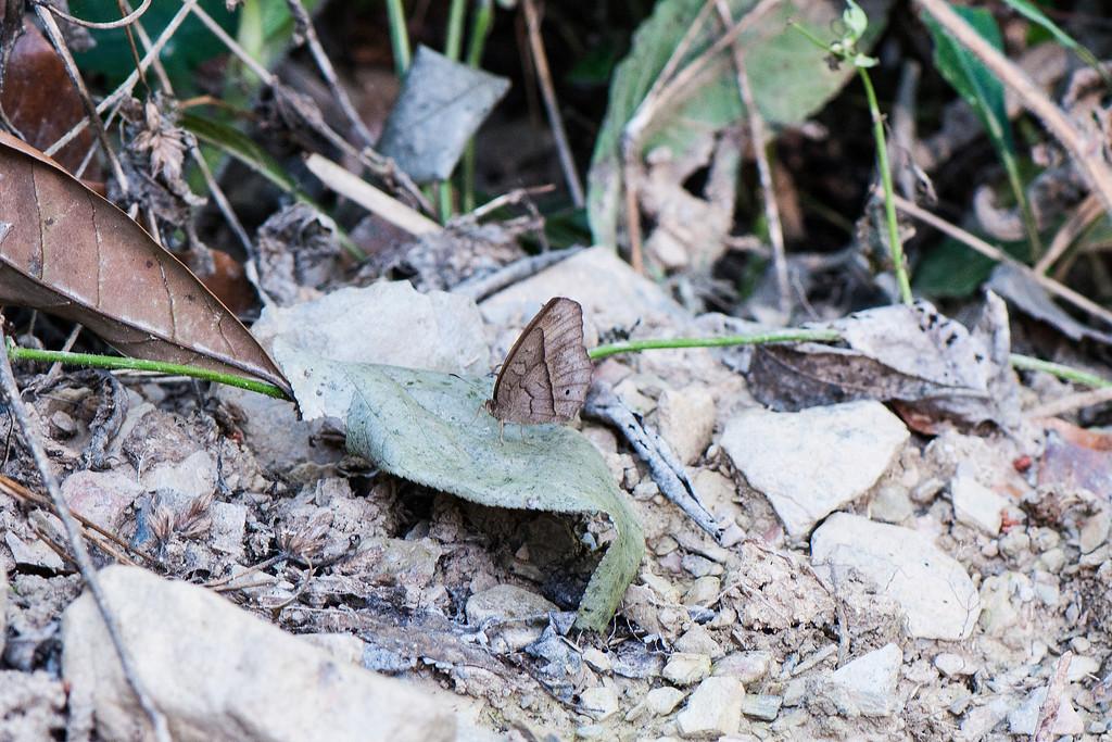 South China Bushbrown (Mycalesis zonata)