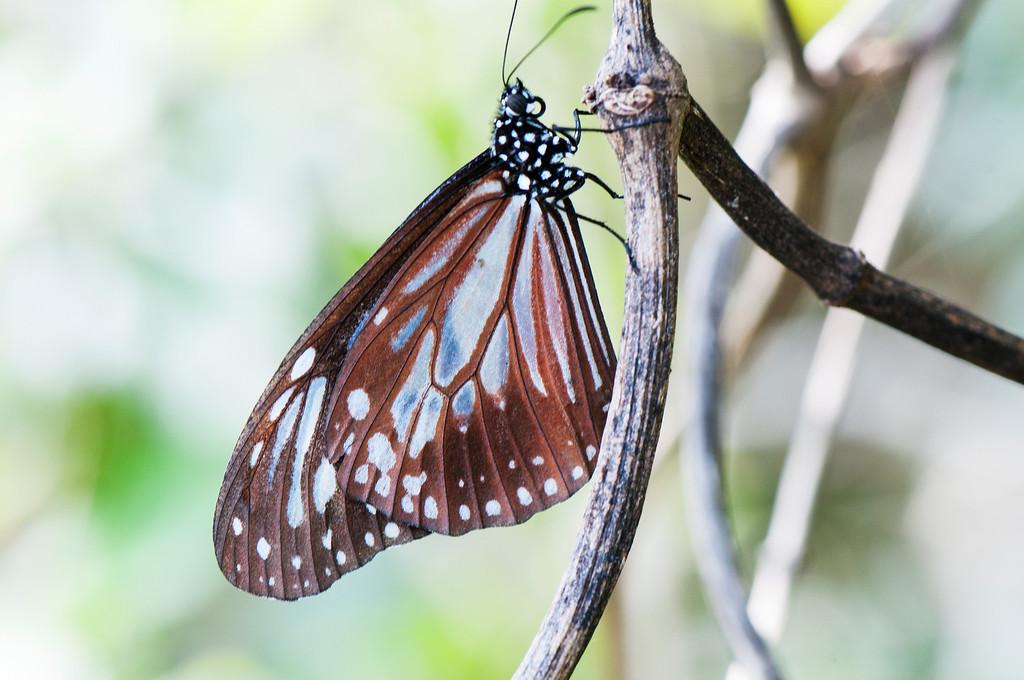 Swinhoe's Chocolate Tiger  (Parantica swinhoei)