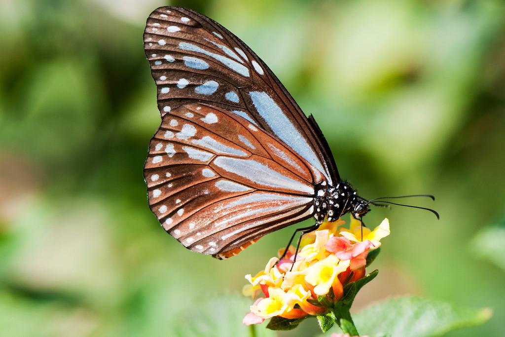 Chestnut Tiger  (Parantica niphonica)