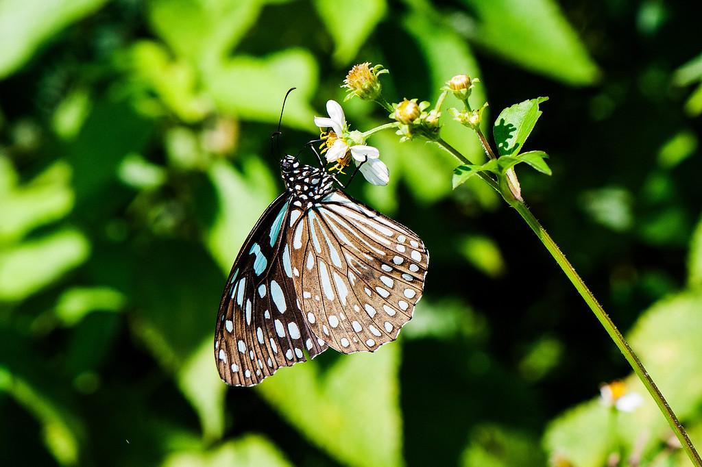 Blue Tiger (Tirumala limniace limniace)
