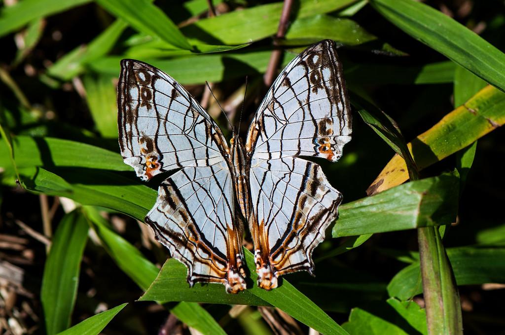 Common Mapwing (Cyrestis thyodamas formosana)