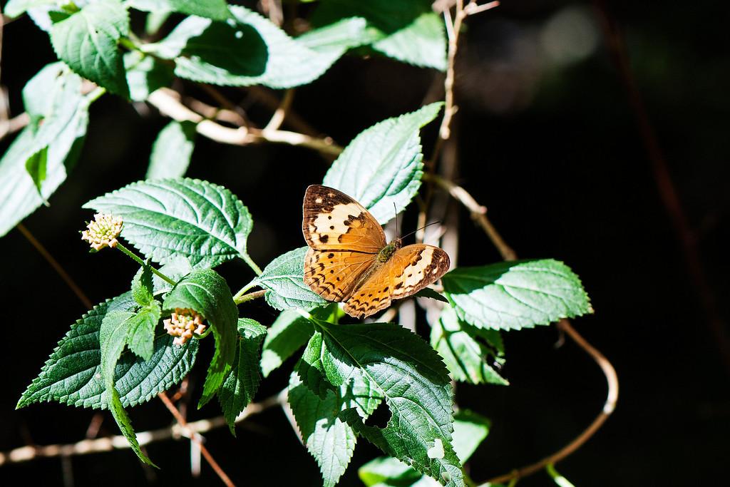Rustic (Cupha erymanthis erymanthis)