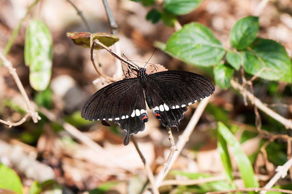 Common Mormon (Papilio polytes pasikrates)