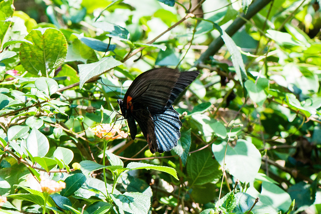 Great Mormon Papilio memnon heronus