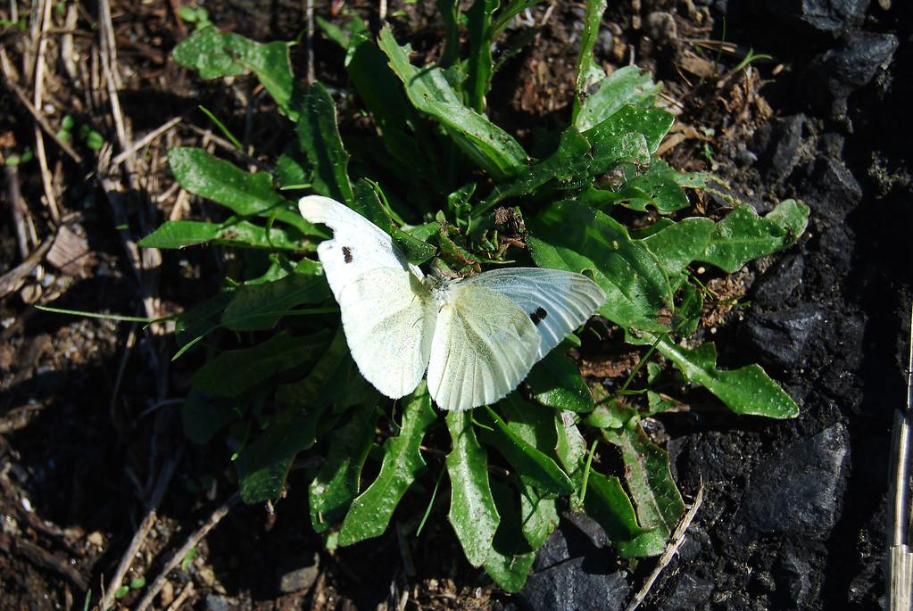 White Butterfly (Pieris rapae rapae)