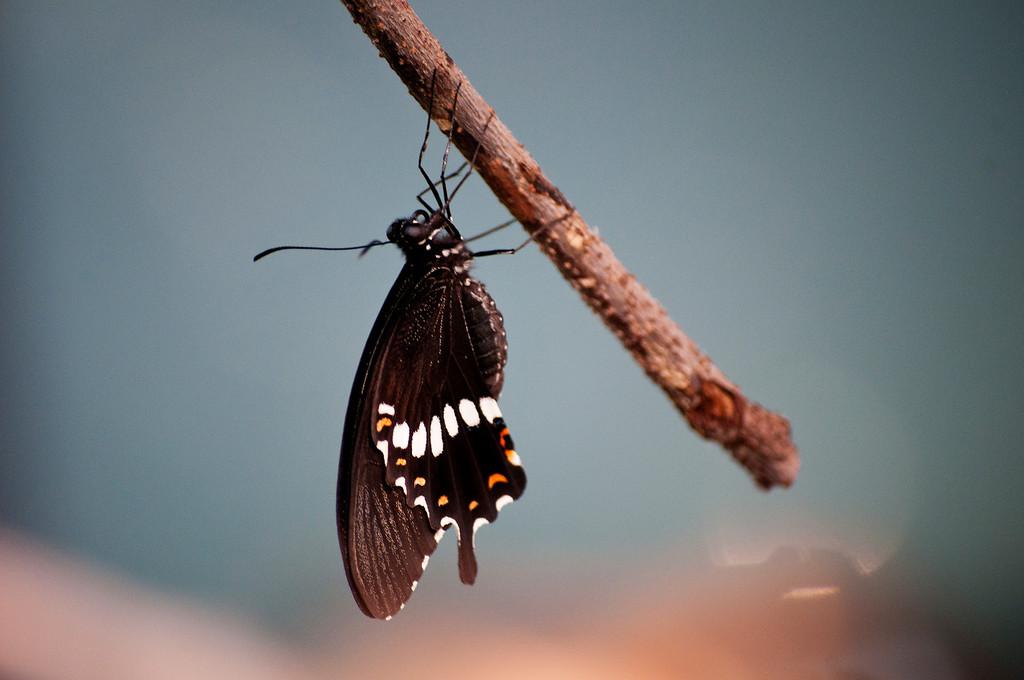 Common Mormon (Papilio polytes romulus)