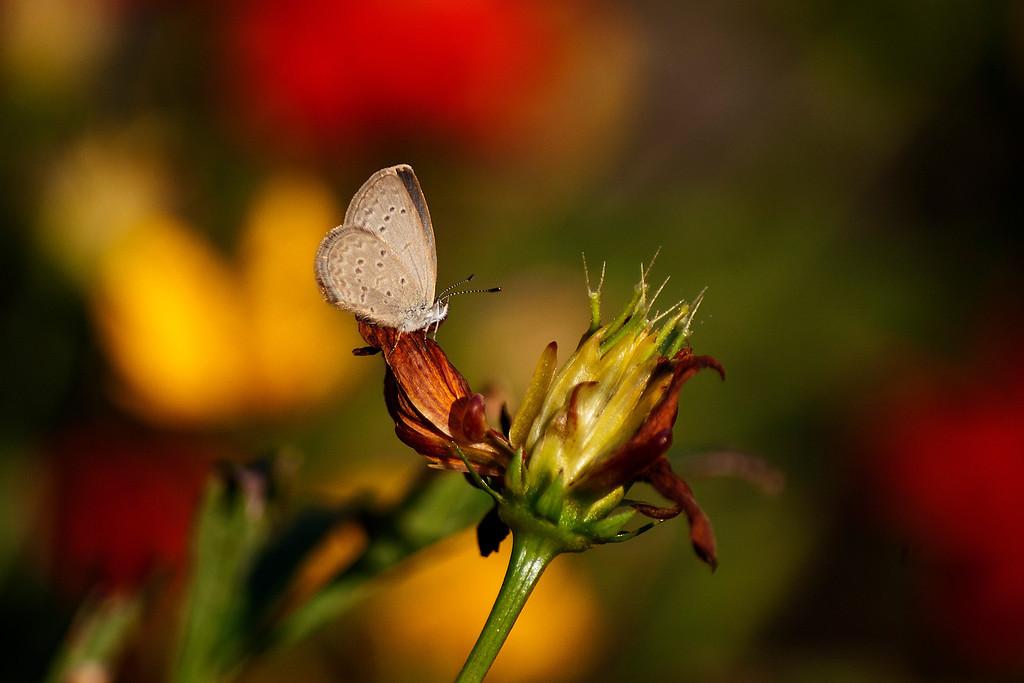 Lesser Grass Blue (Zizina otis sangra)