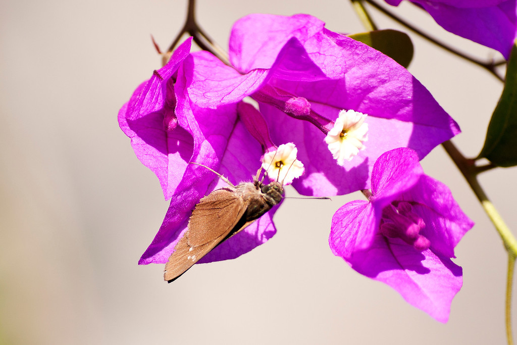 Extra-spot Swift (Caltoris bromus bromus)