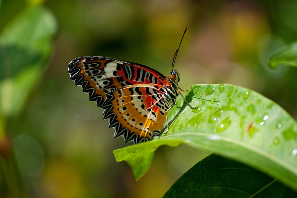 Leopard Lacewing (Cethosia cyane euanthes)