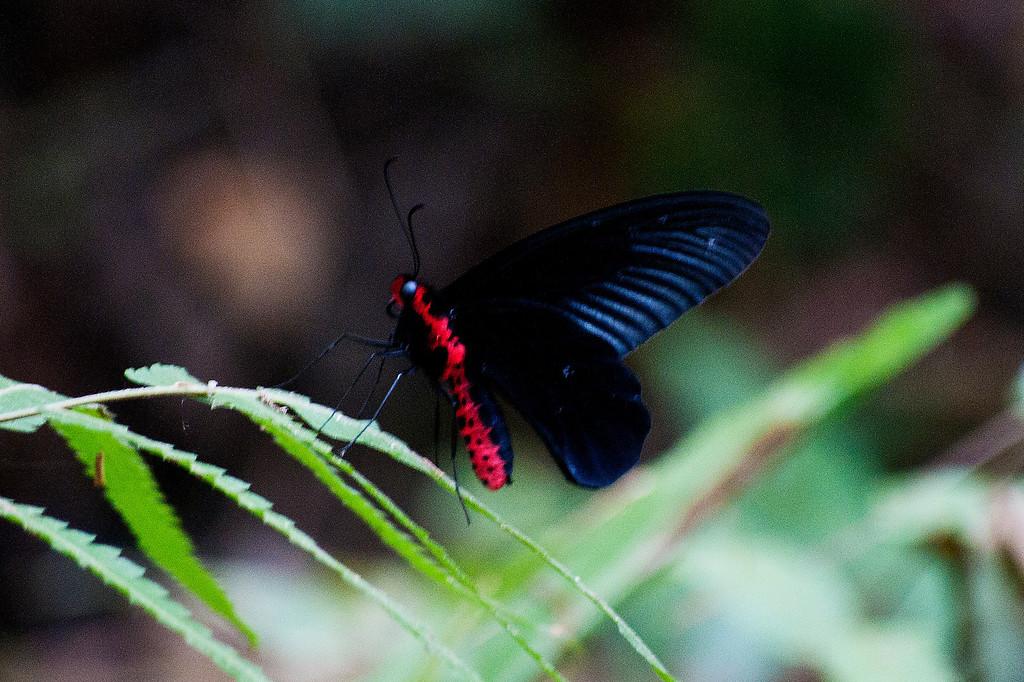 Common Batwing (Atrophaneura varuna astorion)