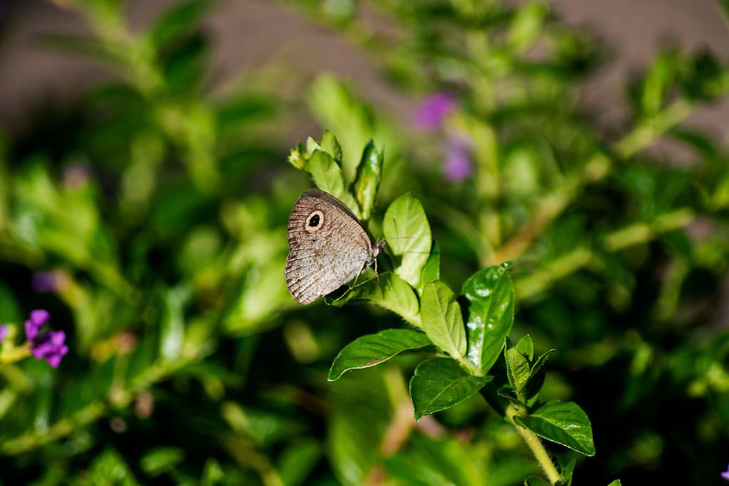 Jewel Fourring (Ypthima lisandra bara)