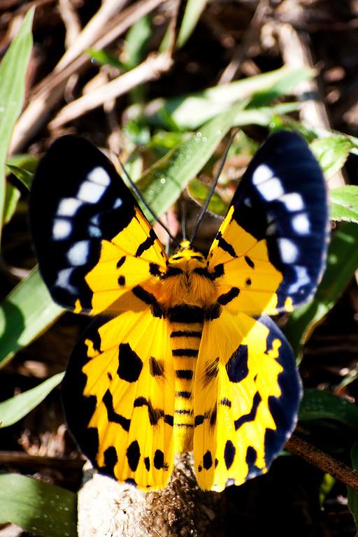 Walker (Dysphania subrepleta) moth