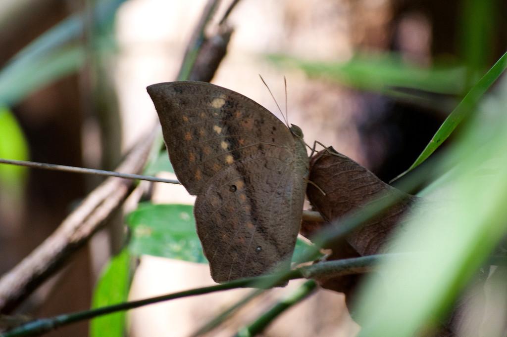 Common Duffer (Discophora sondaica zal)