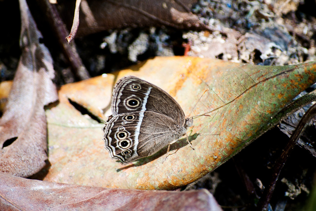 Dark-branded Bushbrown (Mycalesis mineus macromalayana)