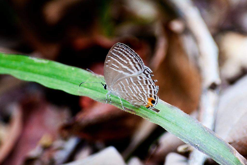 Common Cerulean (Jamides celeno celeno)