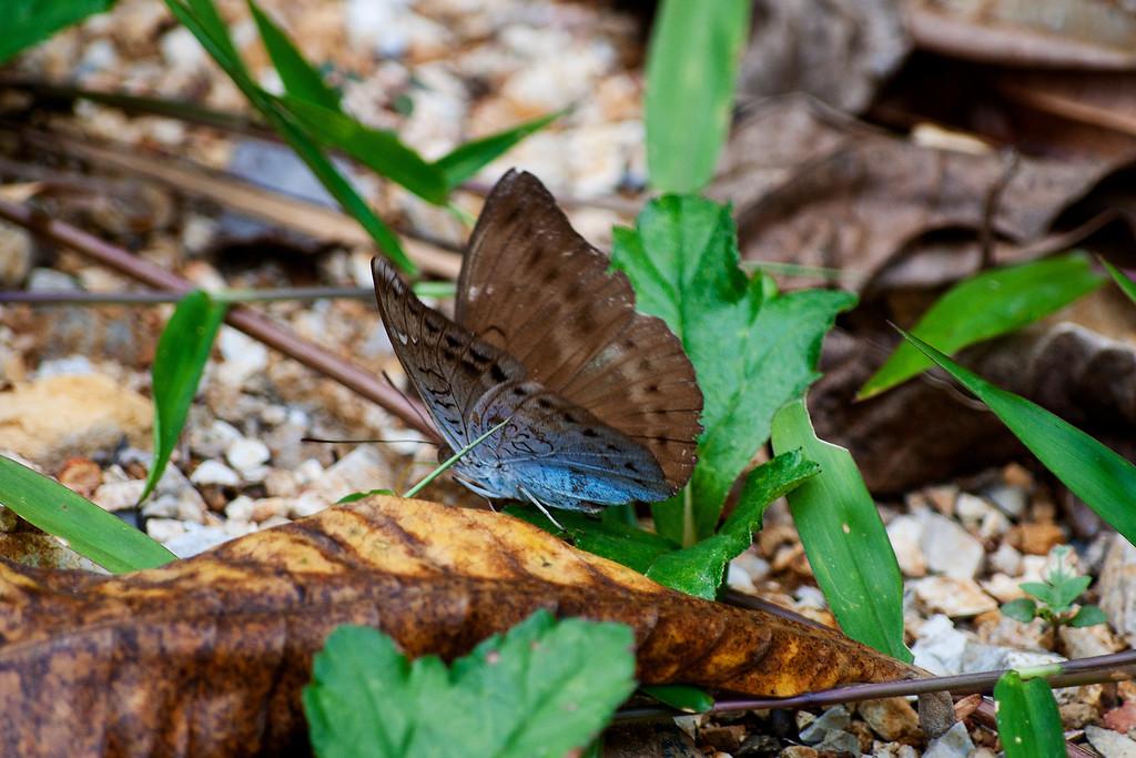 Common Earl (Tanaecia julii xiphiones)