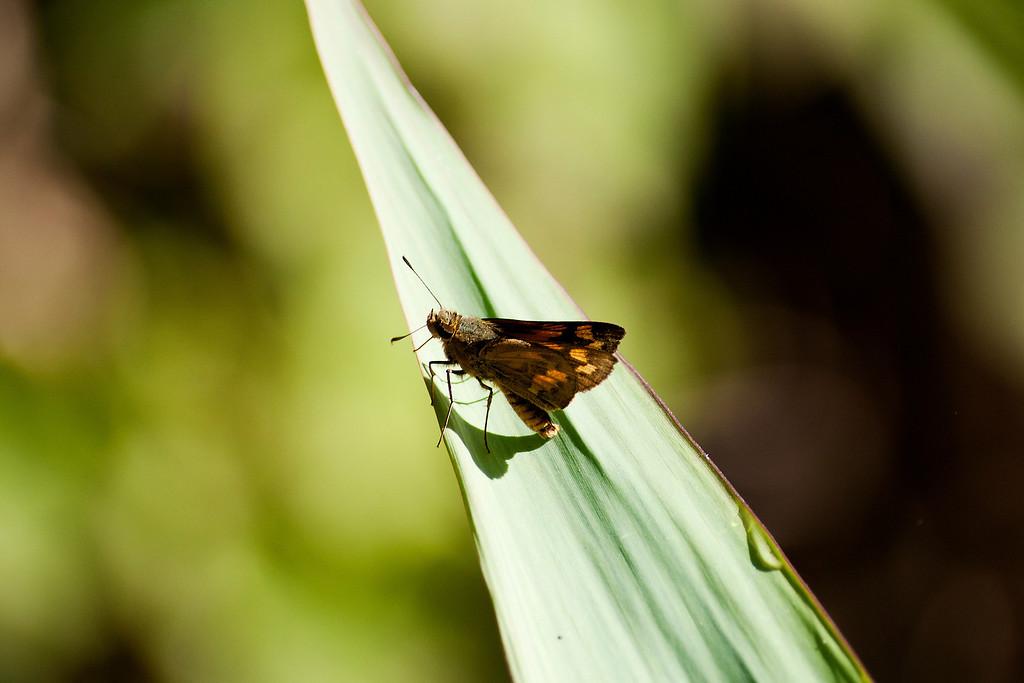 Yellow Grassdart (Taractrocera archias quinta)