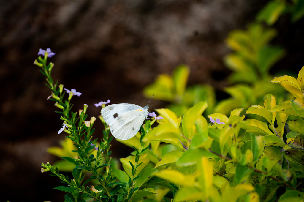 Small Cabbage White (Pieris rapae crucivora)