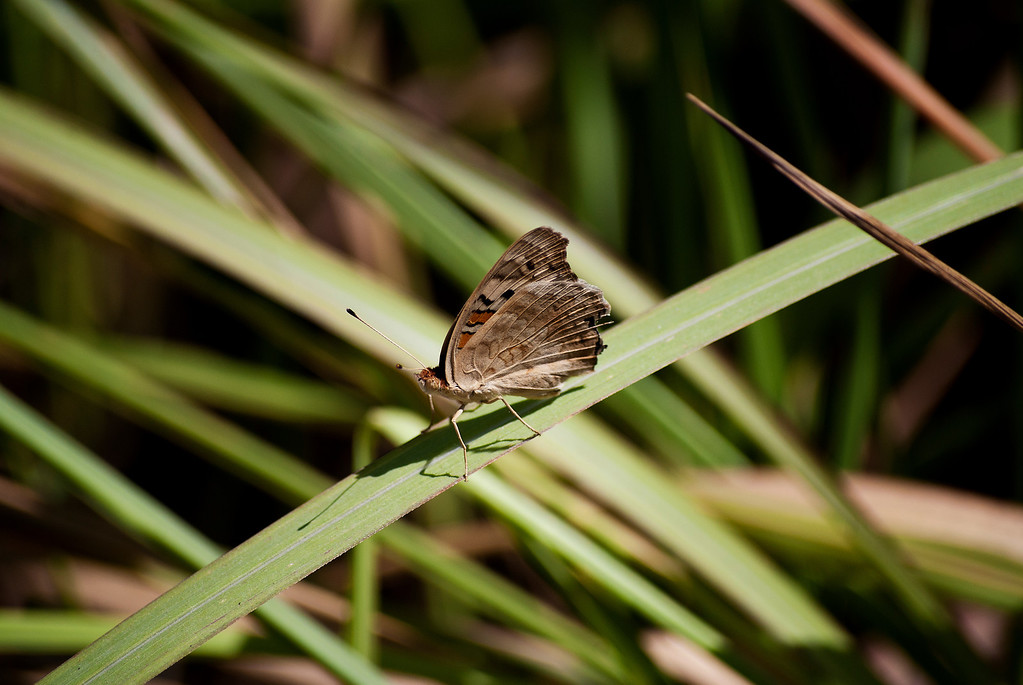 Blue Pansy (Junonia orithya wallacei)