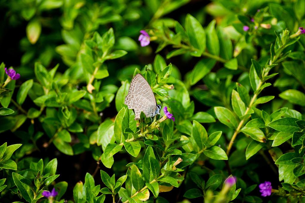 Opaque Sixline Blue (Nacaduba beroe gythion)