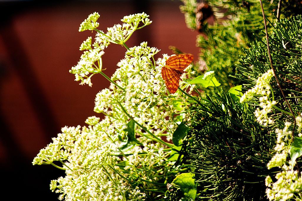Wavy Maplet (Chersonesia rahria rahria)