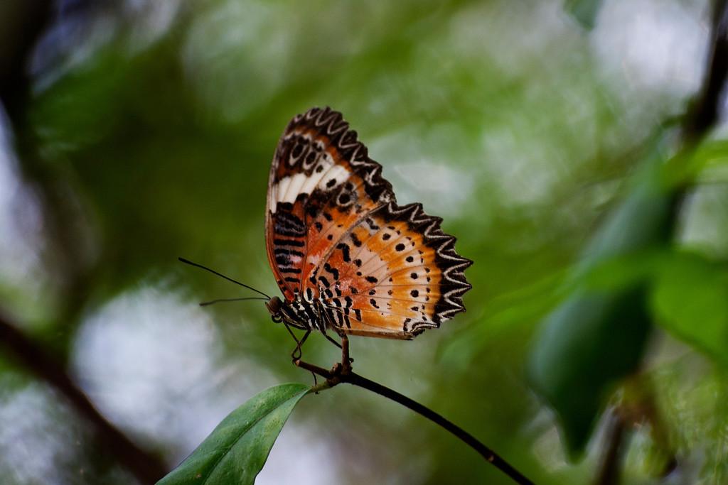 Orange Lacewing (Cethosia methypsea methypsea)