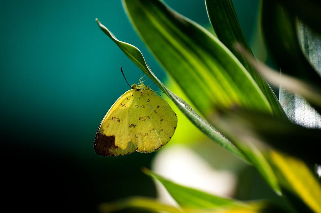 Hill Grass Yellow (Eurema simulatrix tecmessa)