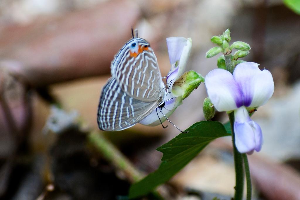 Dusky Cerulean (Jamides virgulatus nisanca)