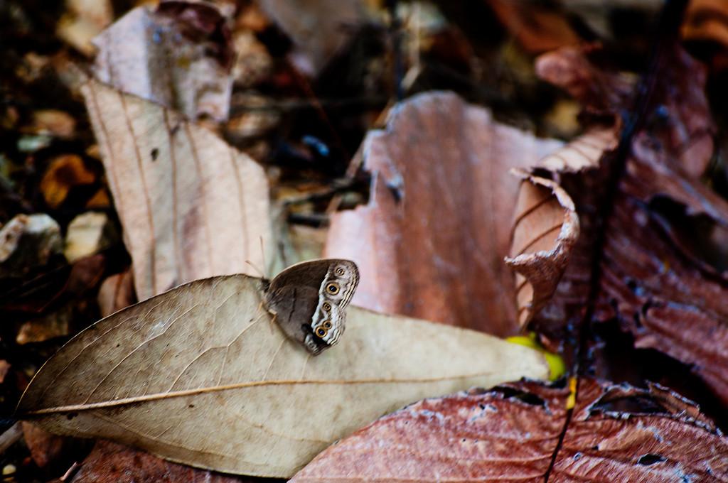 Burmese Bushbrown (Mycalesis perseoides)