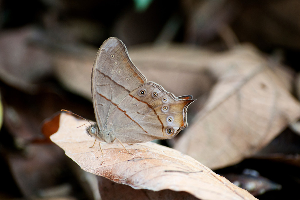 Red-tailed Forester (Lethe sinorix sinorix)