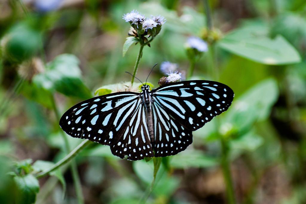 Dark Blue Glassy Tiger (Ideopsis vulgaris macrina)