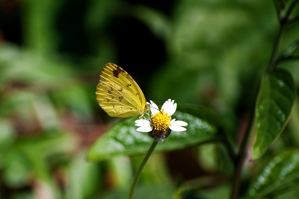 Common Grass Yellow (Eurema hecabe hecabe)
