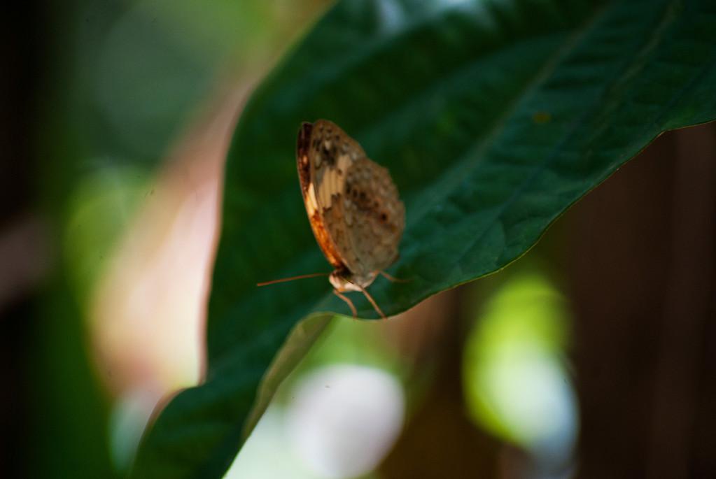 Rustic (Cupha erymanthis lotis)