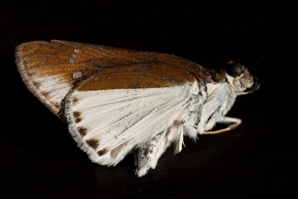 Common Wight (Iton semamora semamora)