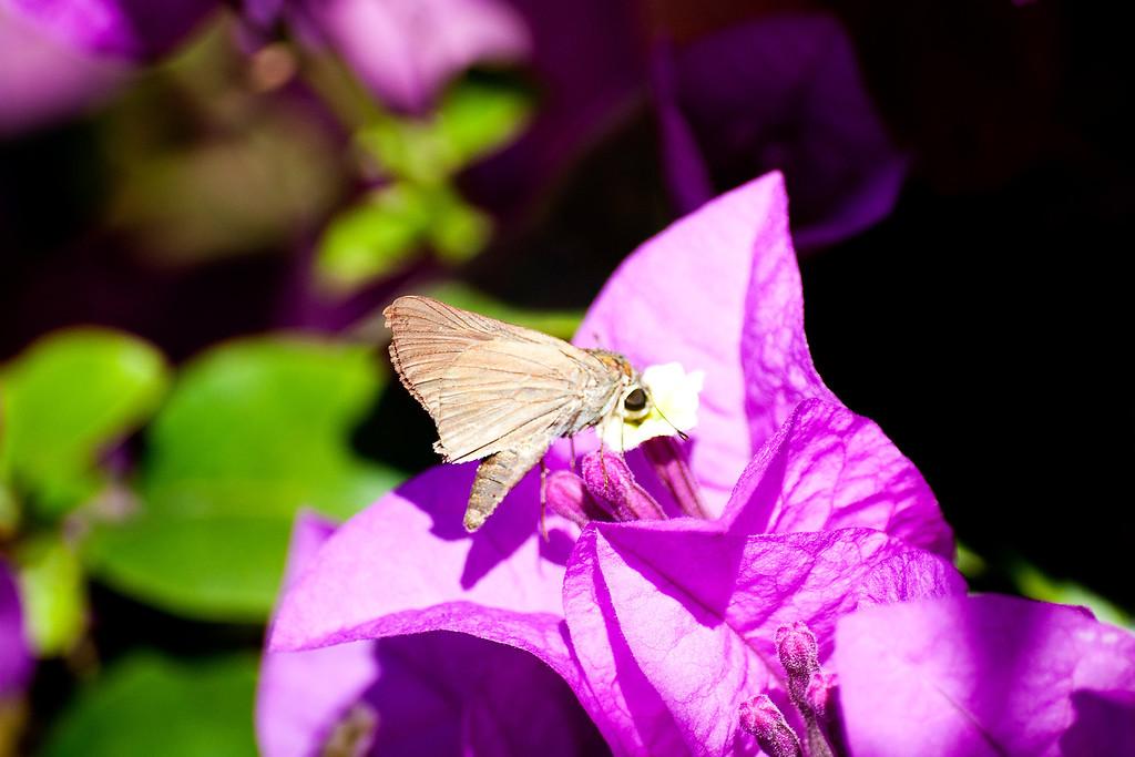 Purple Swift (Caltoris tulsi tulsi)