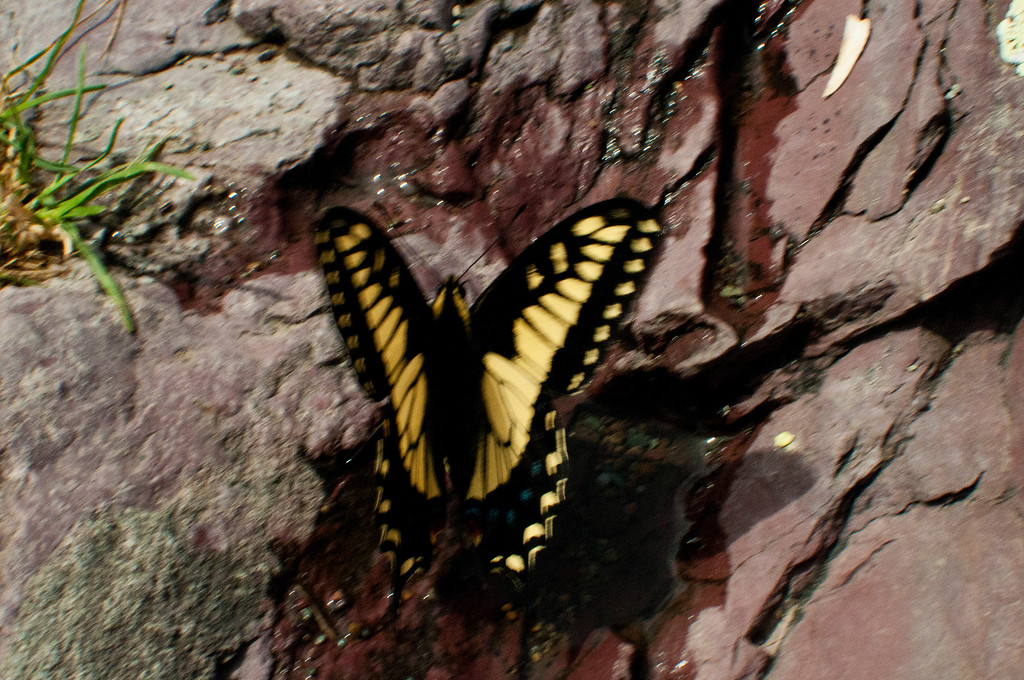 Old World Swallowtail (Papilio machaon dodi)