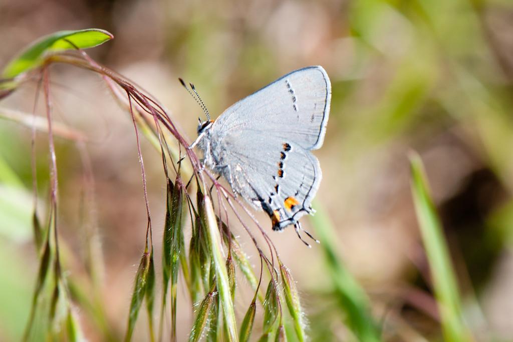 Gray Hairstreak (Strymon melinus setonia)