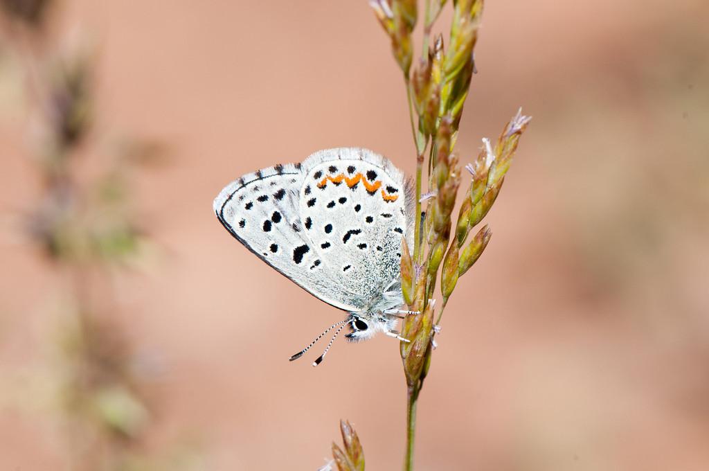 Dotted Blue (Euphilotes enoptes ancilla)