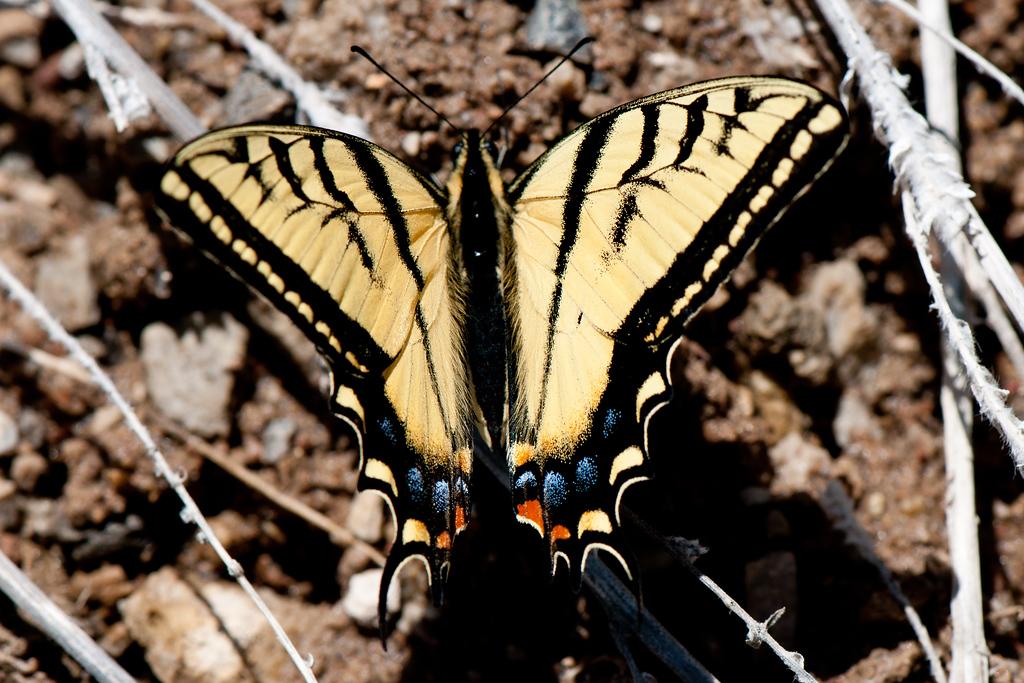 Two Tailed Tiger Swallowtail (Papilio multicaudatus pusillus)