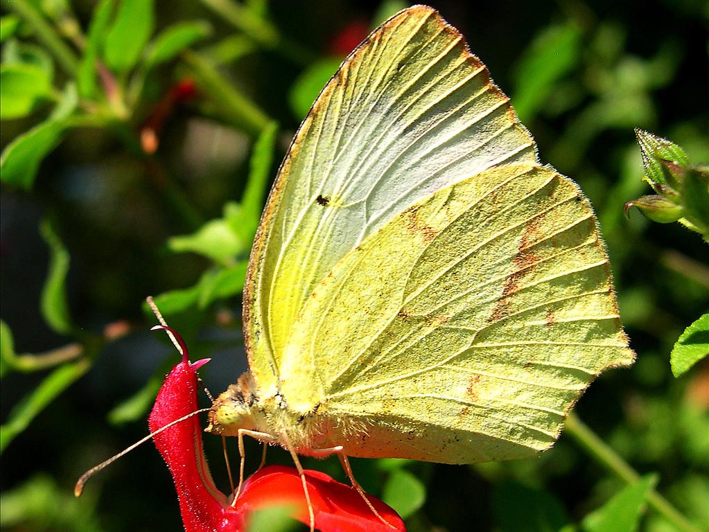 Mexican Yellow (Eurema mexicana mexicana)