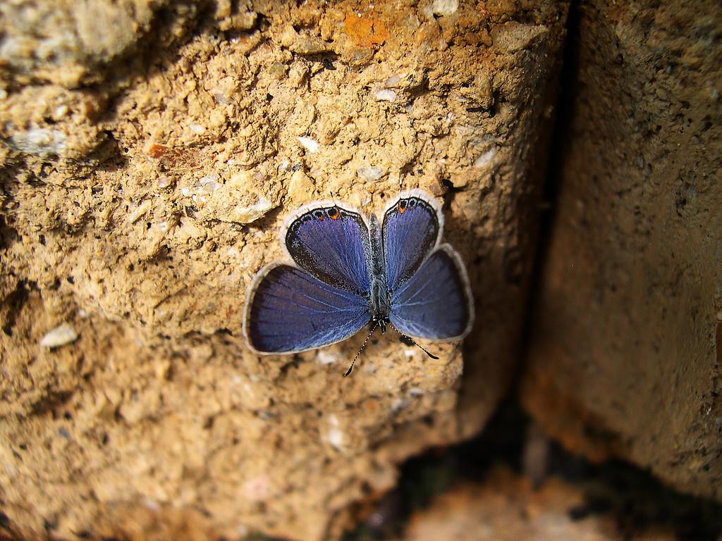 Eastern Tailed-Blue (Cupido comyntas comyntas)