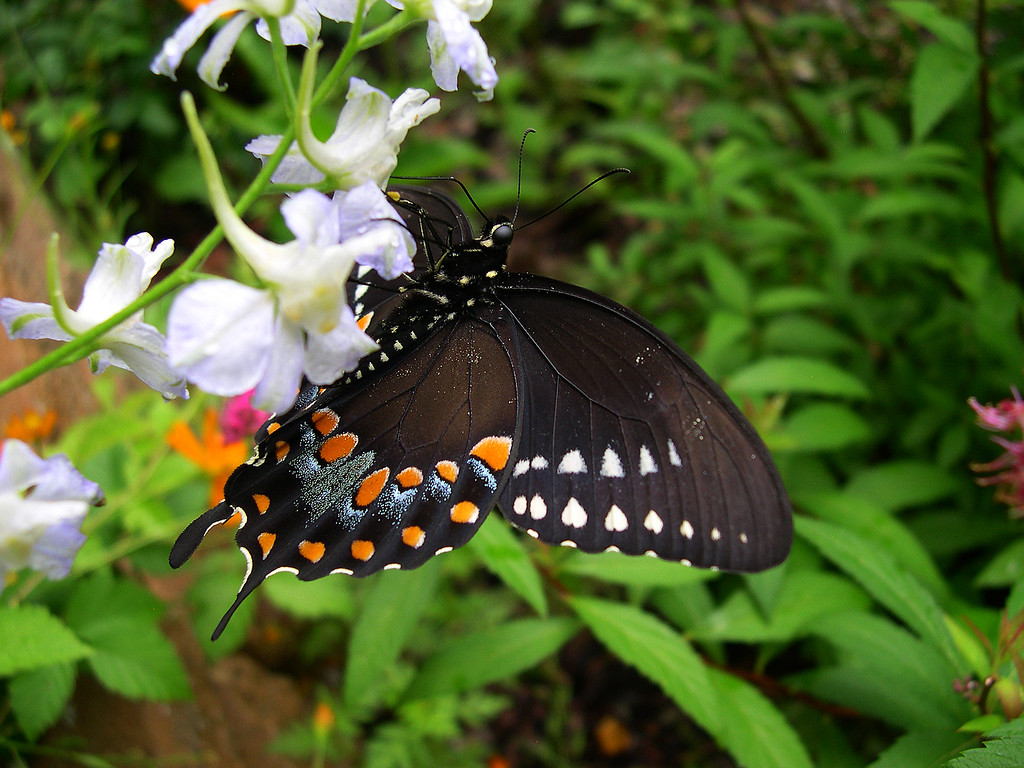 Spicebush Swallowtail (Papilio troilus troilus)