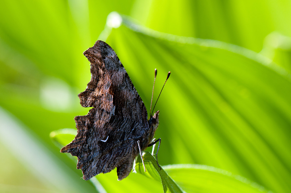 Hoary Comma (Polygonia gracilis zephyrus)