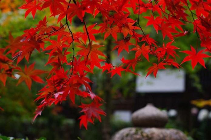 Багряная листва