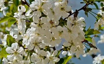 Расцвела за окошком белоснежная вишня